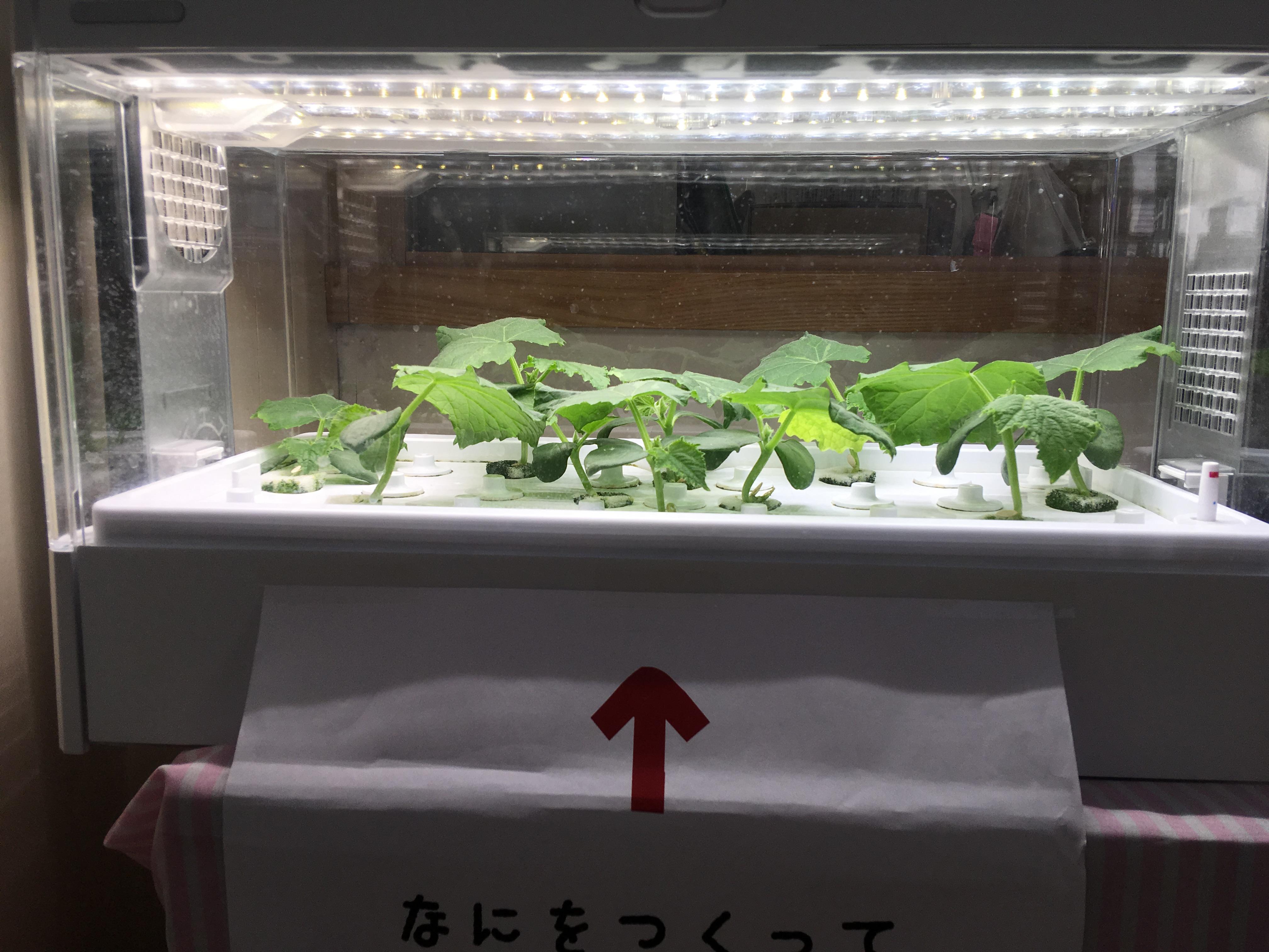 水耕栽培の野菜1