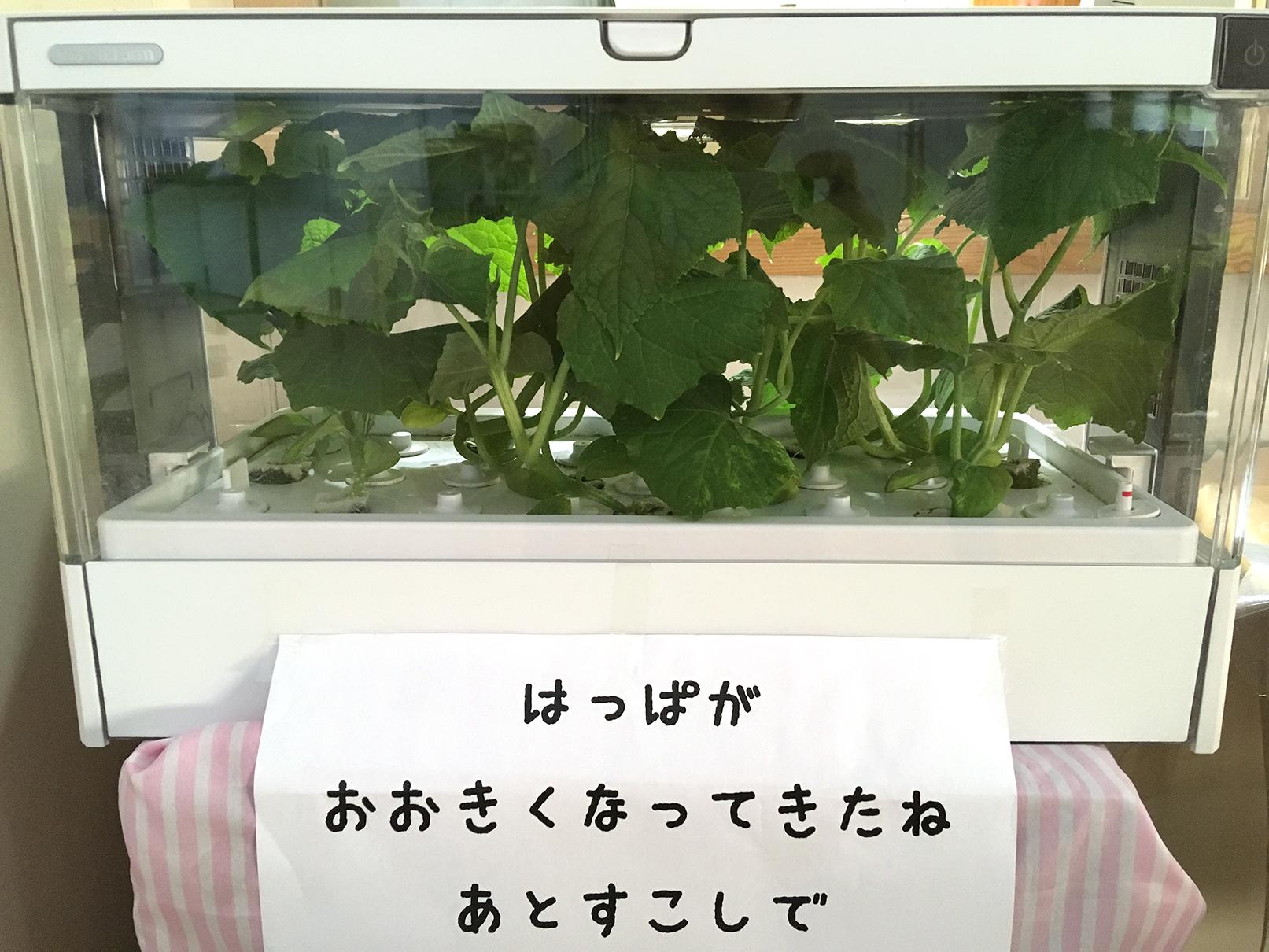 水耕栽培の野菜2
